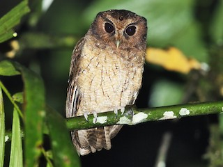 - Rufescent Screech-Owl (Colombian)