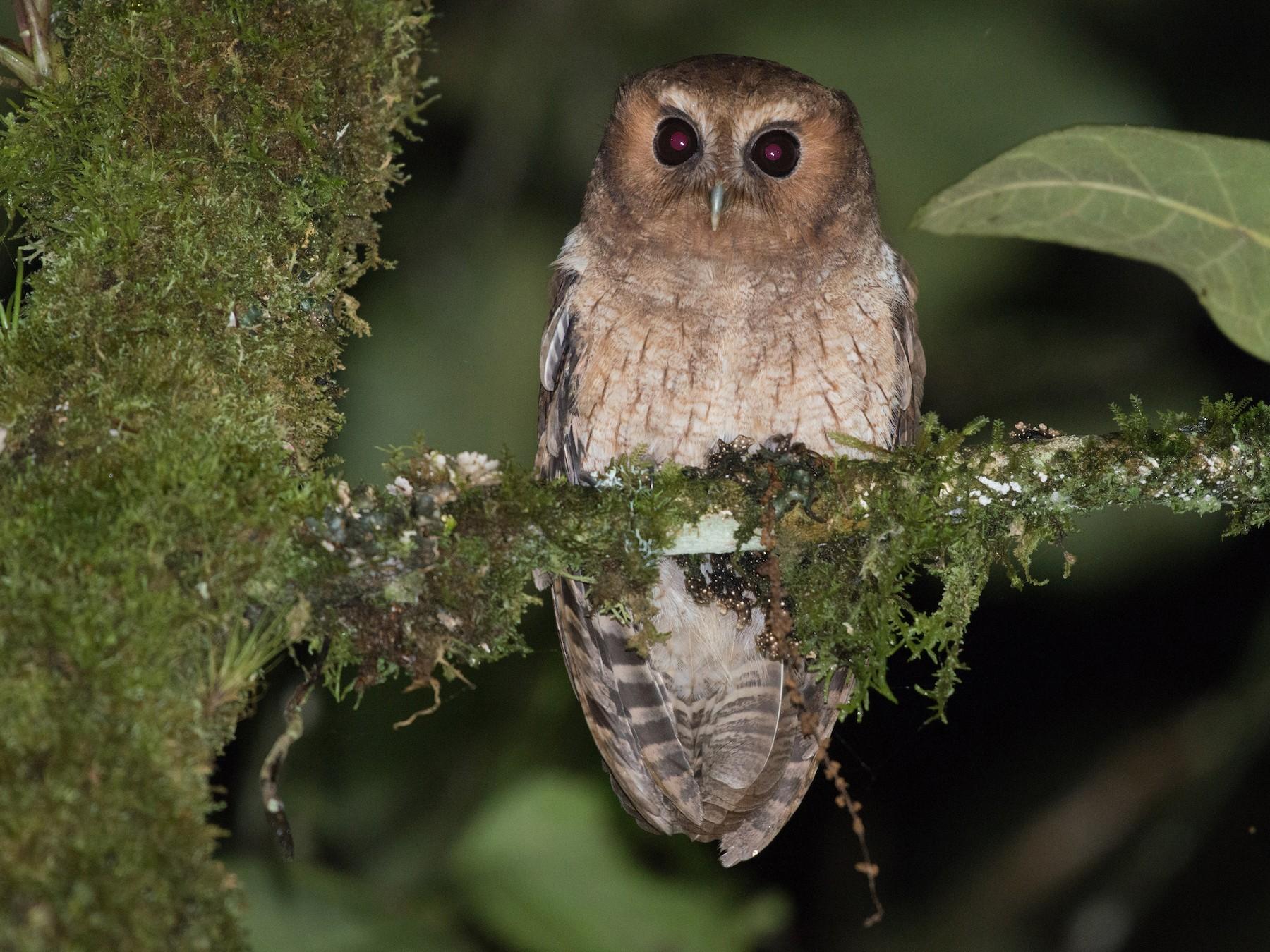 Rufescent Screech-Owl - John C. Mittermeier