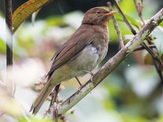 - Rufous-brown Solitaire (Guianan)