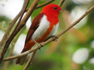 - Scarlet-and-white Tanager