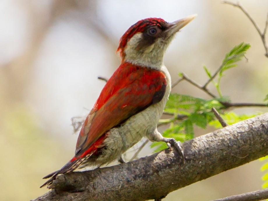 Scarlet-backed Woodpecker - Kevin Berkoff