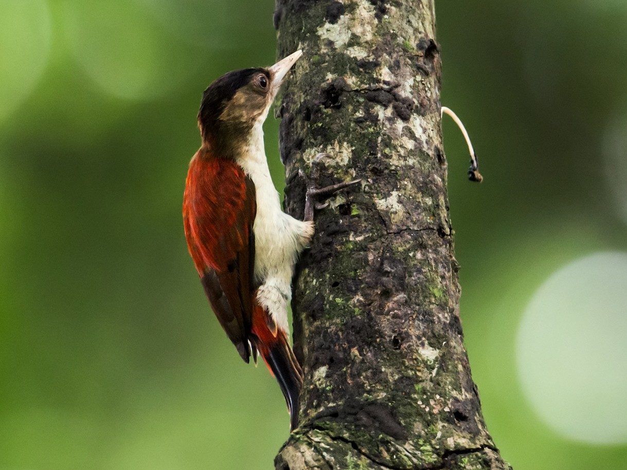 Scarlet-backed Woodpecker - Nick Athanas