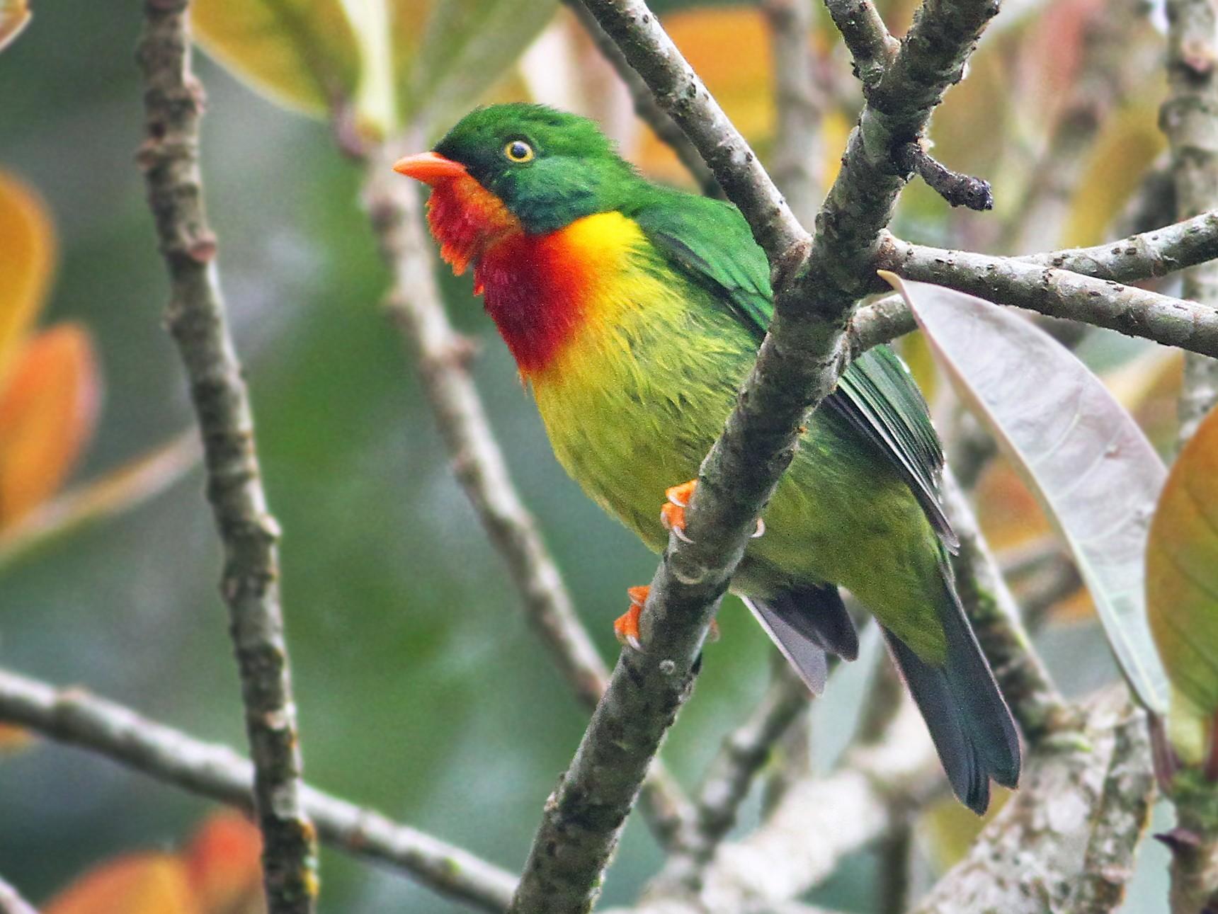 Scarlet-breasted Fruiteater - Andrew Spencer