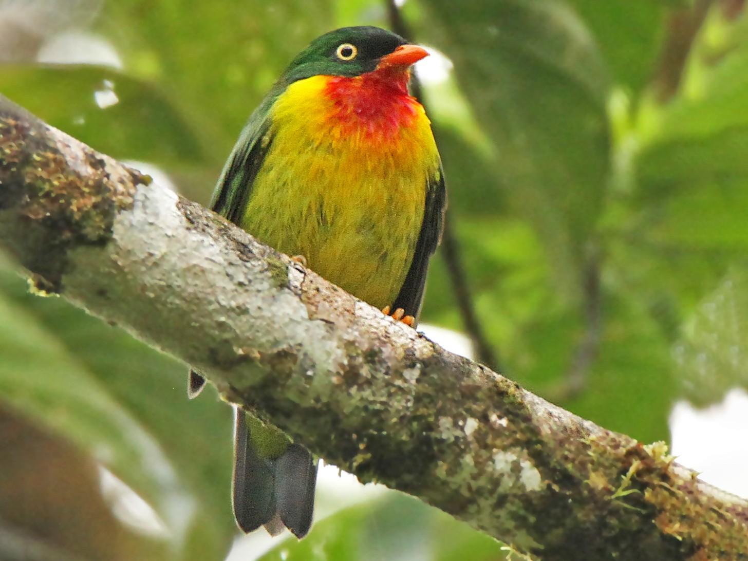 Scarlet-breasted Fruiteater - Roger Ahlman