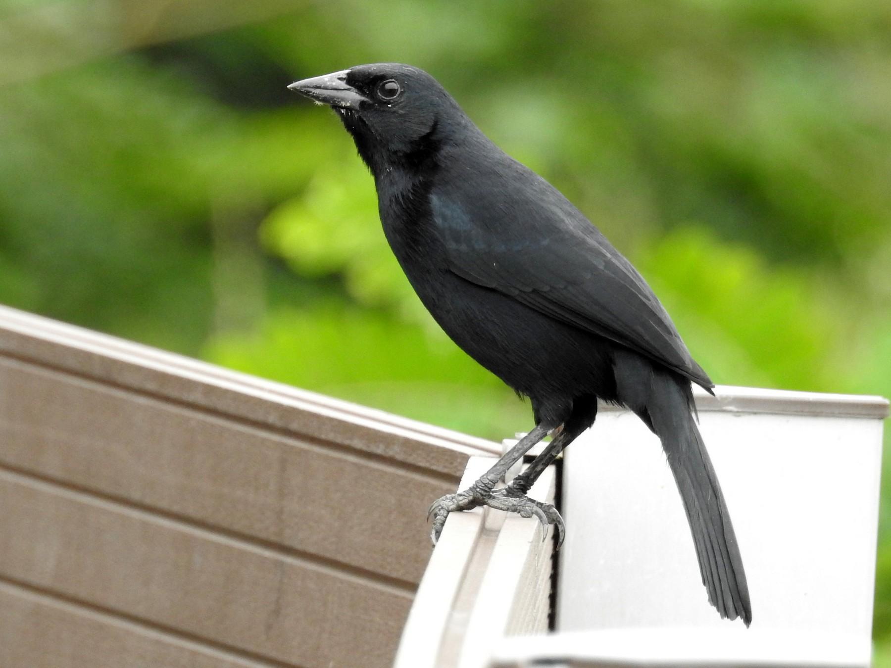 Scrub Blackbird - David Bree