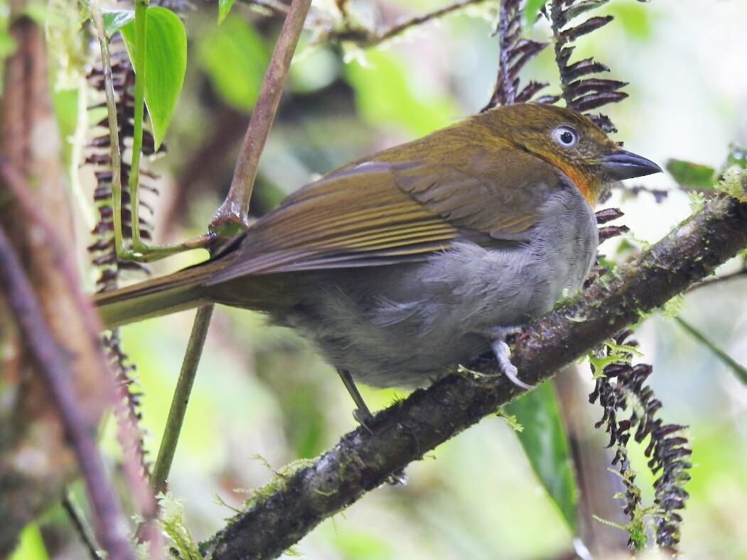 Short-billed Chlorospingus - Edier  Rojas parra