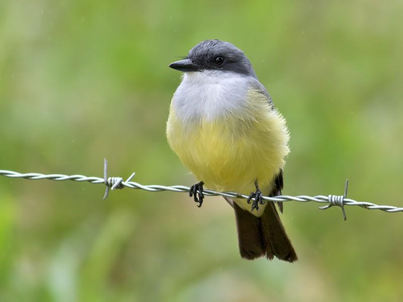Snowy-throated Kingbird - Sam Woods