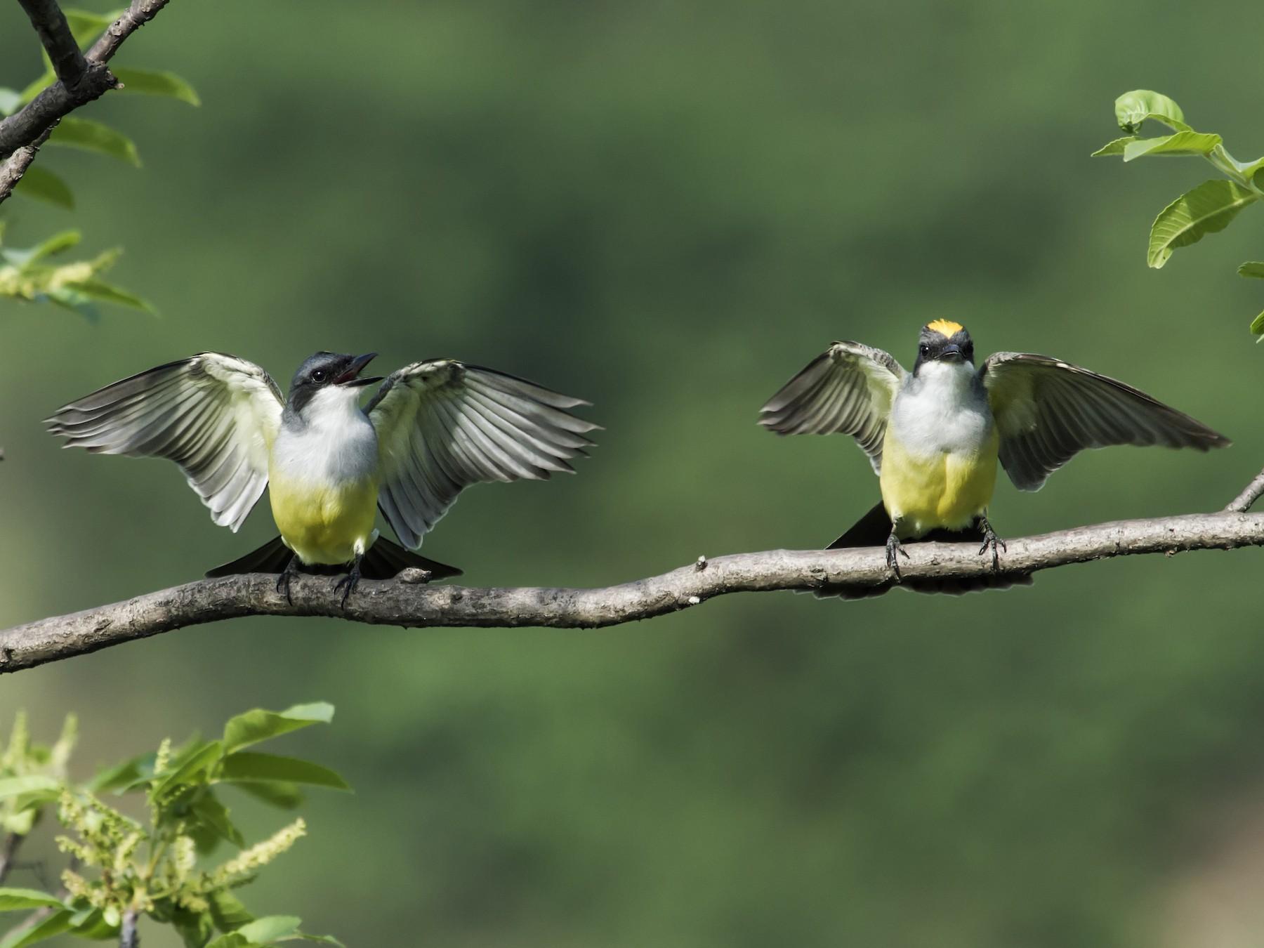Snowy-throated Kingbird - Nick Athanas