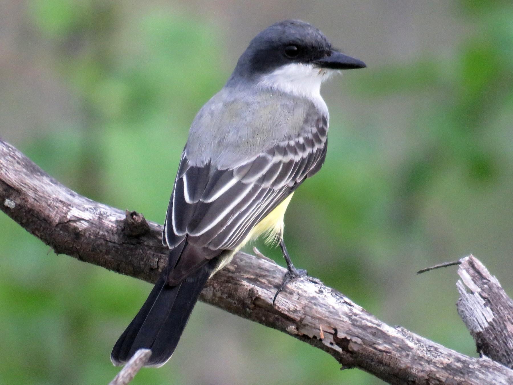 Snowy-throated Kingbird - Fernando Angulo - CORBIDI