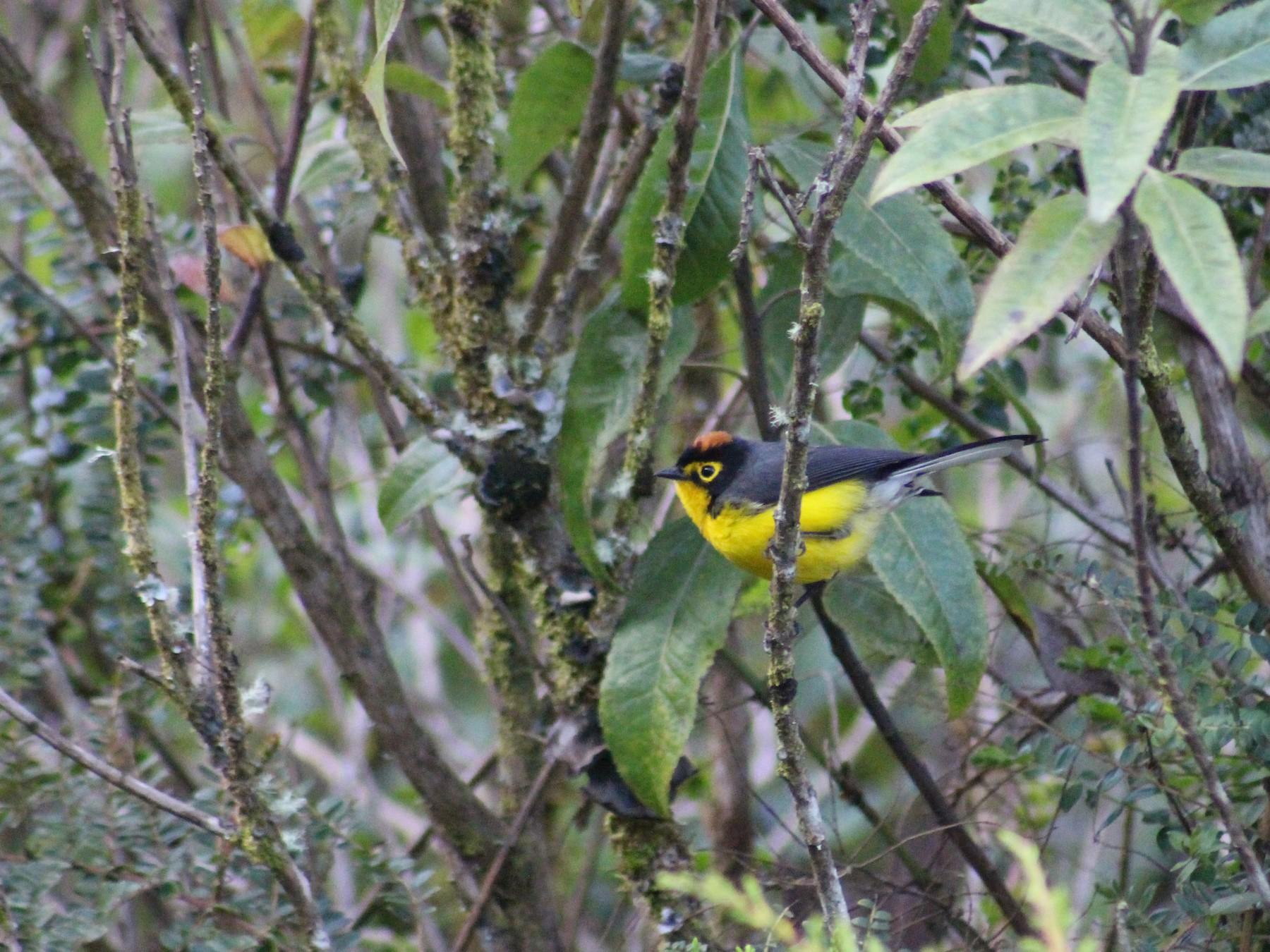 Spectacled Redstart - Ty Sharrow