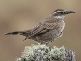- Stout-billed Cinclodes