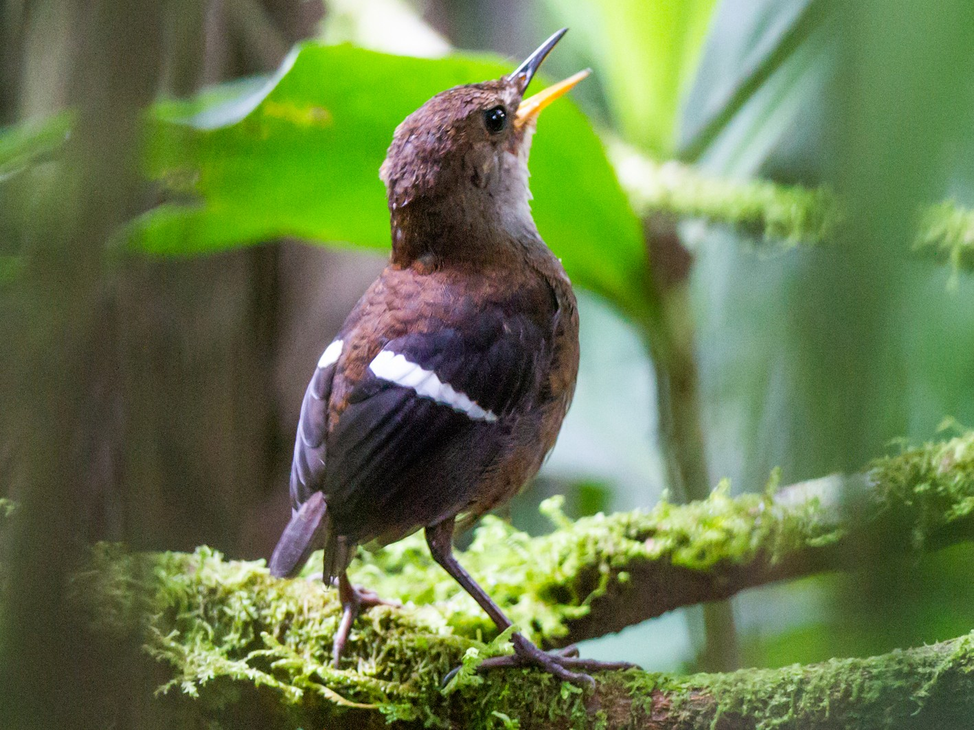 Wing-banded Wren - Nick Athanas