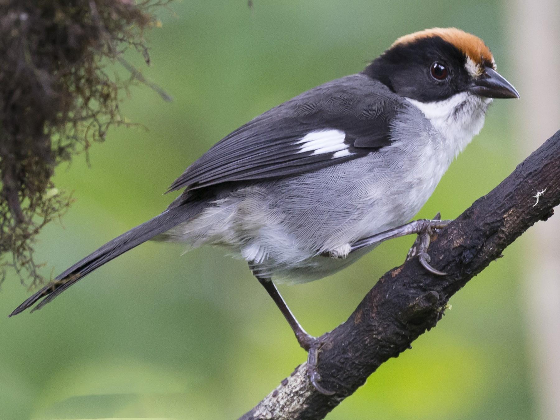 White-winged Brushfinch - Glenn Lahde