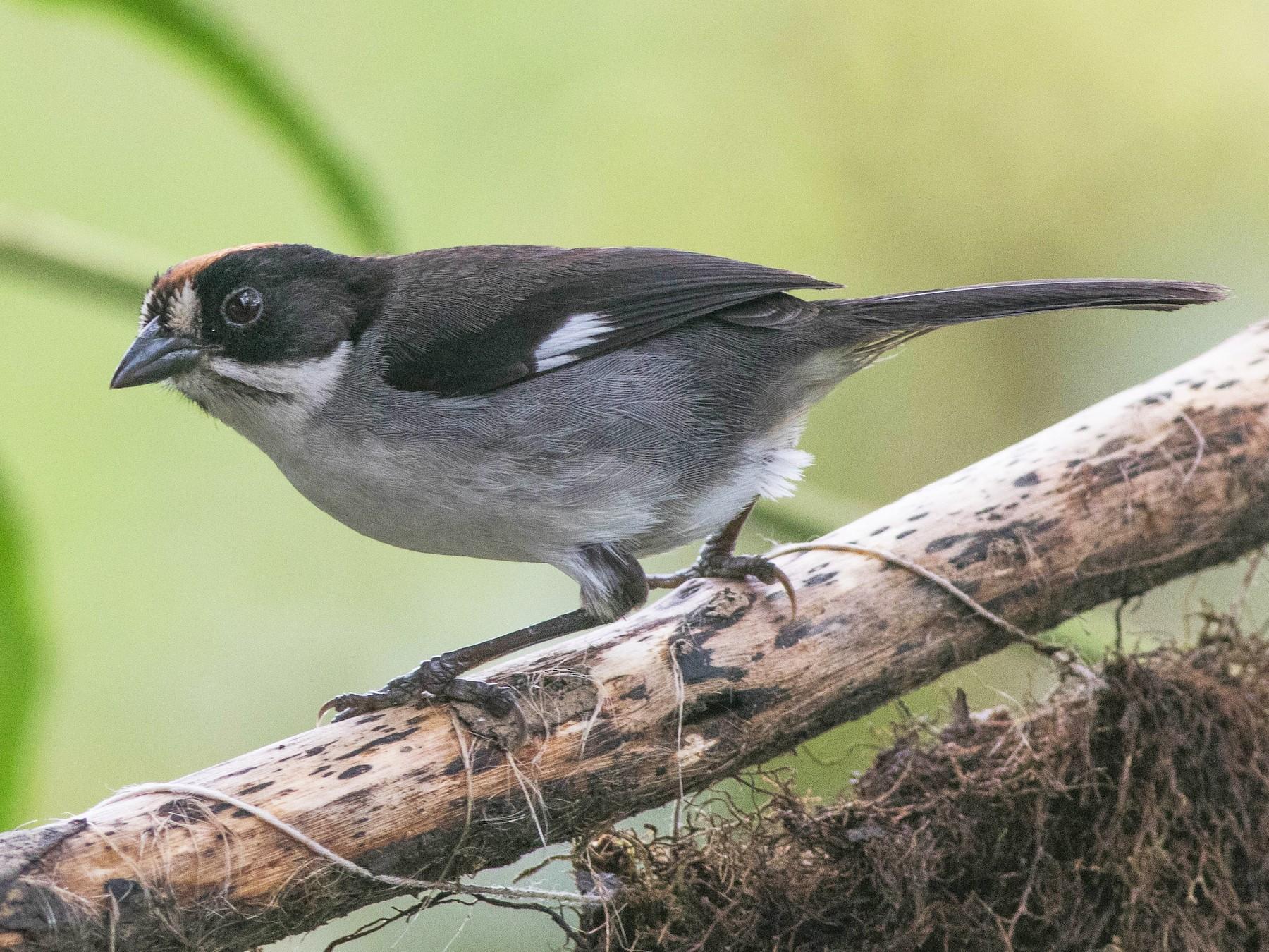 White-winged Brushfinch - Jack Rogers