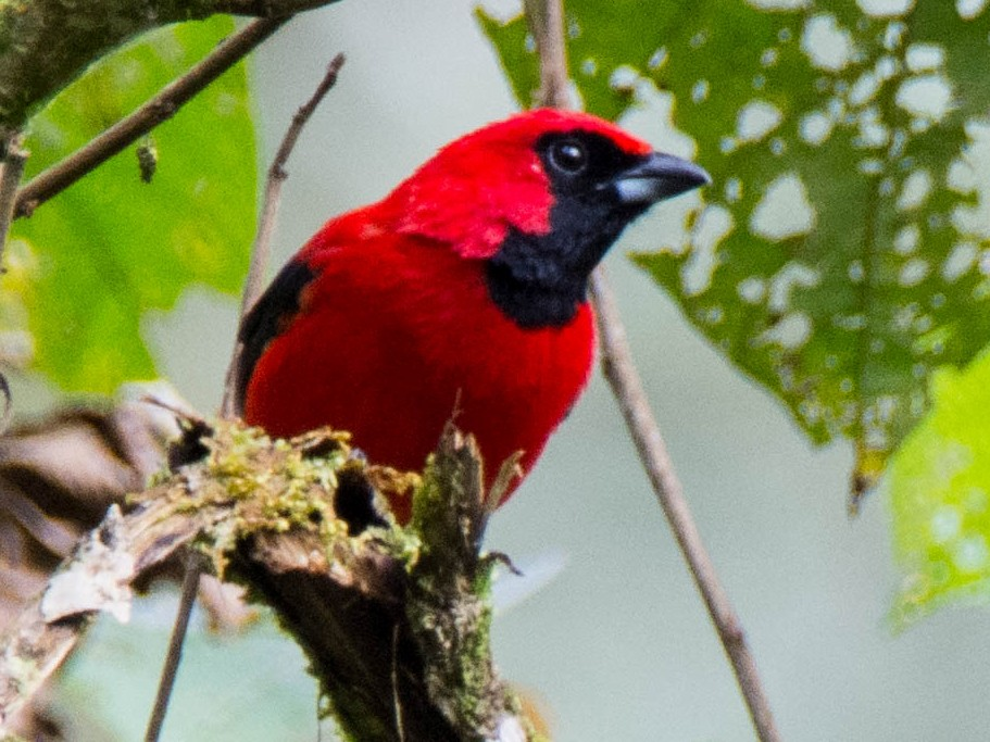 Vermilion Tanager - Victor Guaillas Poma