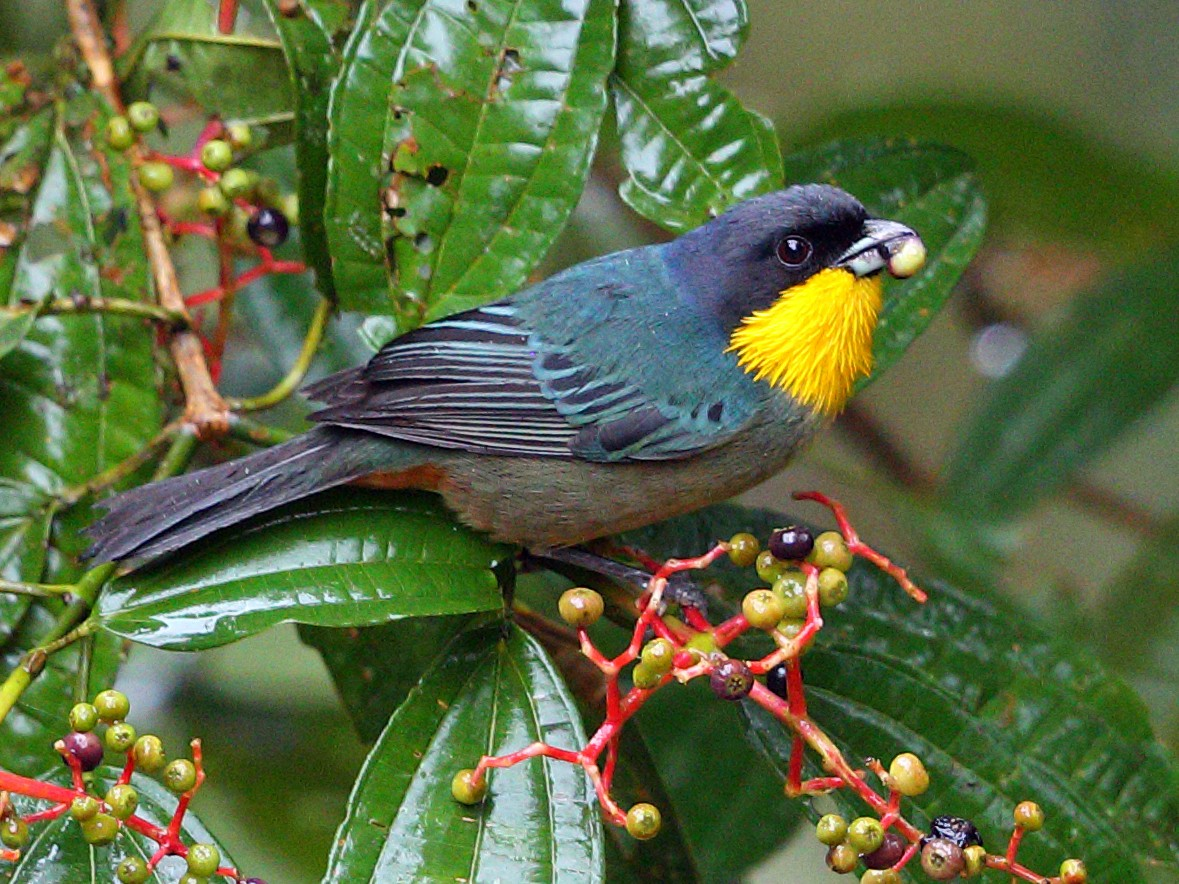 Yellow-throated Tanager - Jon Irvine