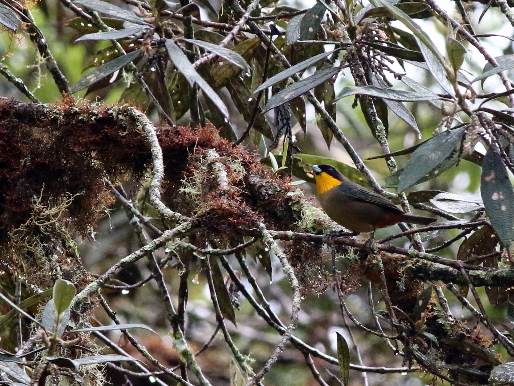 Yellow-throated Tanager - Nick  Kontonicolas