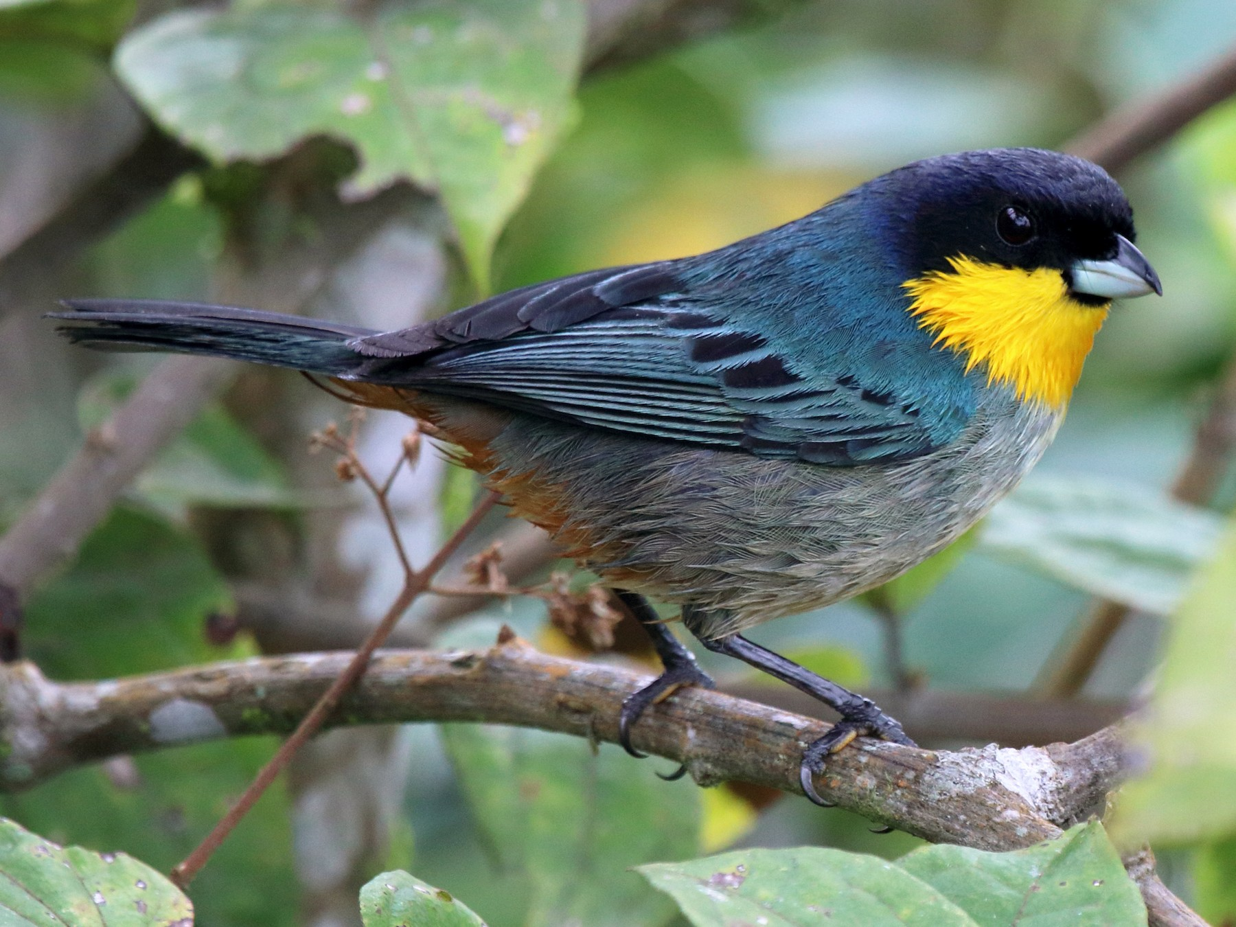 Yellow-throated Tanager - Mark Scheuerman