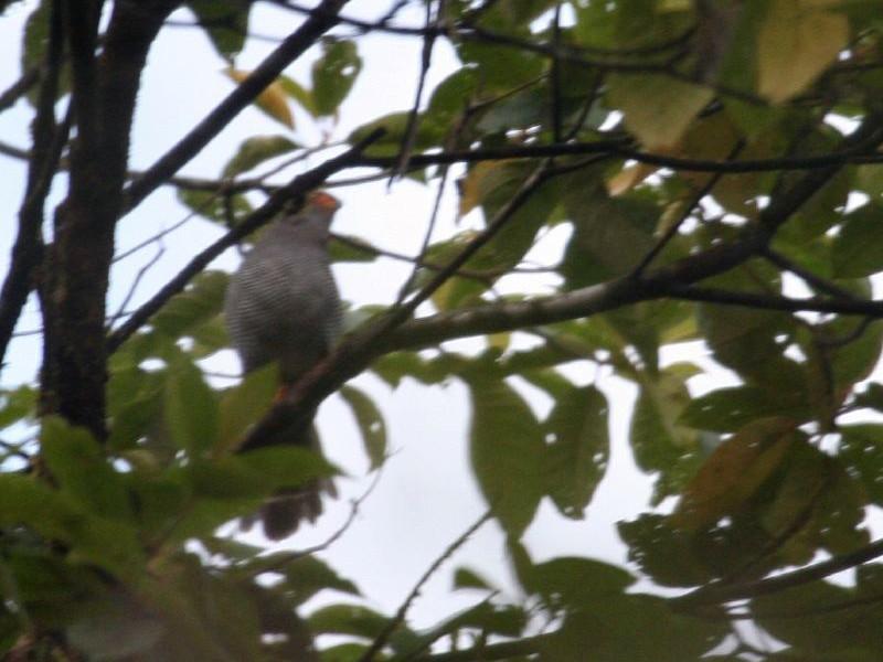 Plumbeous Forest-Falcon - Michael Harvey