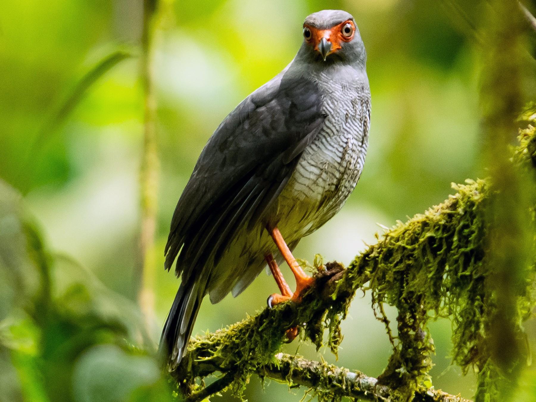 Plumbeous Forest-Falcon - Alex  Luna