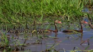 Black-bellied Whistling-Duck, ML178965931
