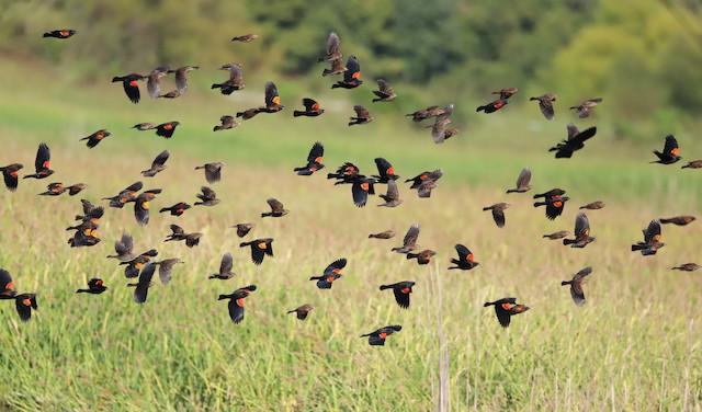 ©Chelsea Mosteller - Red-winged Blackbird