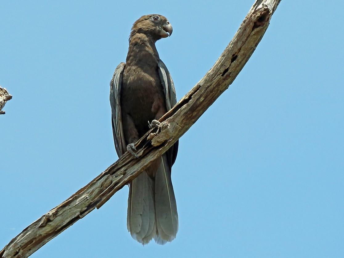 Lesser Vasa Parrot - Nigel Voaden