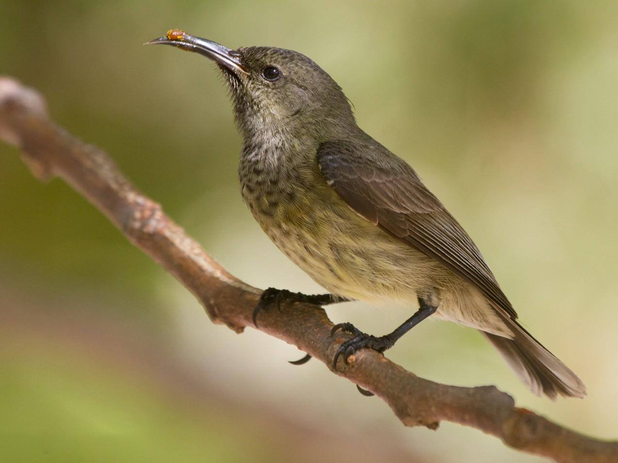 Souimanga Sunbird - Christophe Gouraud