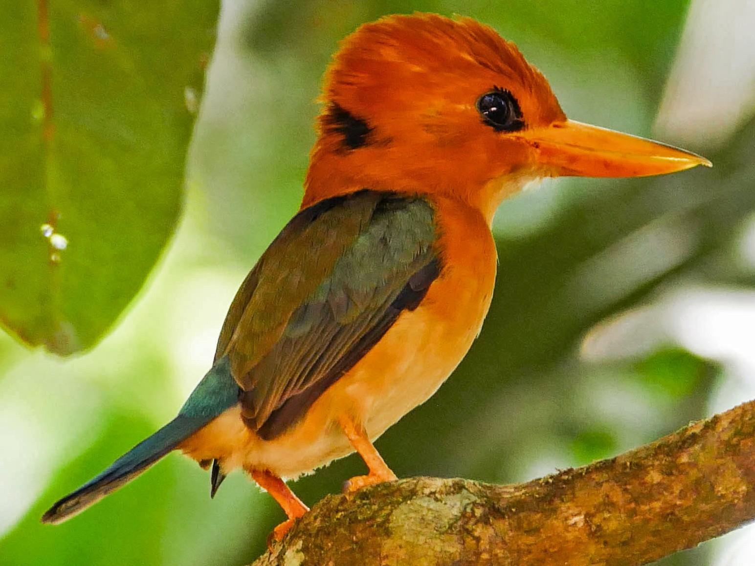 Yellow-billed Kingfisher - Nige Hartley