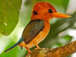 - Yellow-billed Kingfisher
