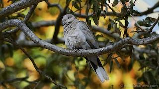 Eurasian Collared-Dove, ML179239791