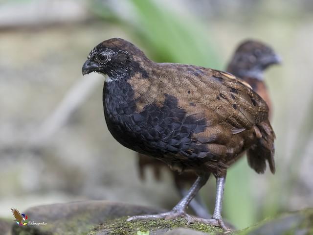 Black-breasted Wood-Quail