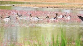 Maned Duck, ML179422171