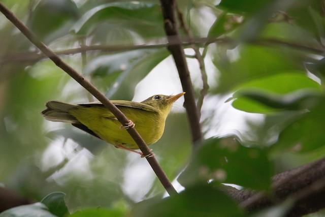 Alström's Warbler