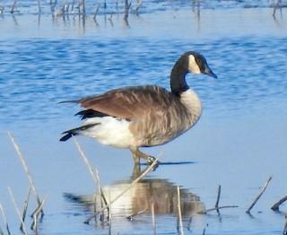 Canada Goose, ML179513051
