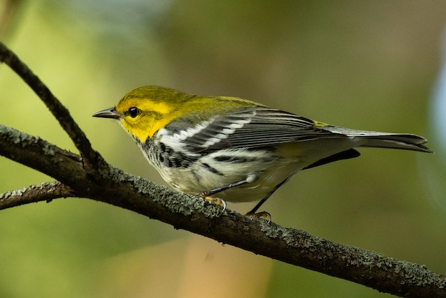 ©Michael Pelc - Black-throated Green Warbler