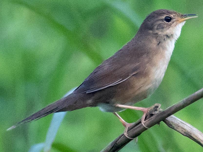 Brown Bush Warbler - James Kennerley 🦄