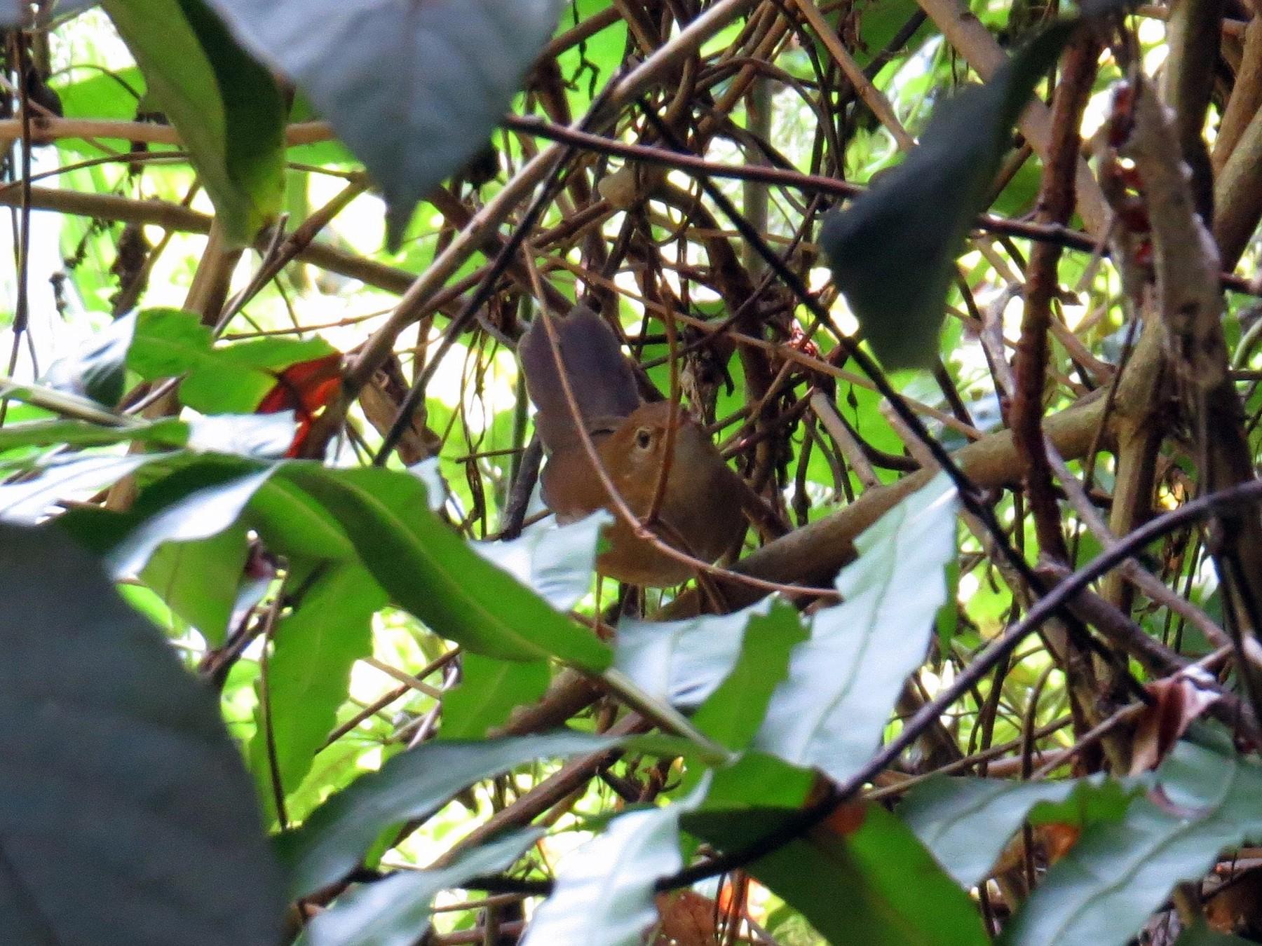 Brown Bush Warbler - Dylan Thomas