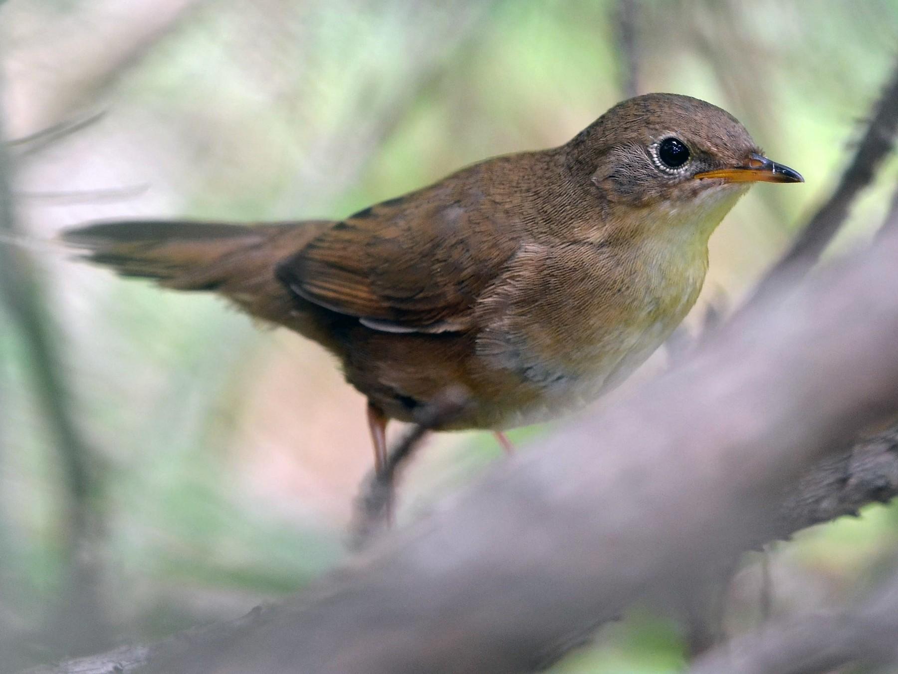 Brown Bush Warbler - Chun-Chieh Liao