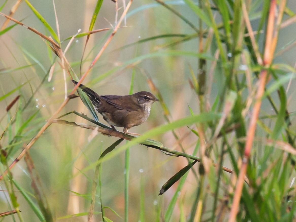 Baikal Bush Warbler - Saurabh Sawant