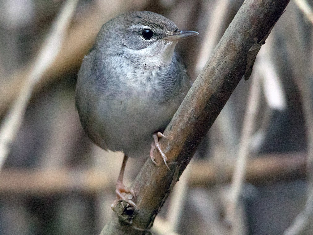 Baikal Bush Warbler - Ayuwat Jearwattanakanok