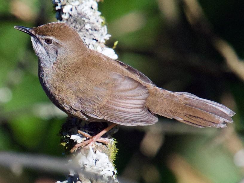Spotted Bush Warbler - Qin Huang