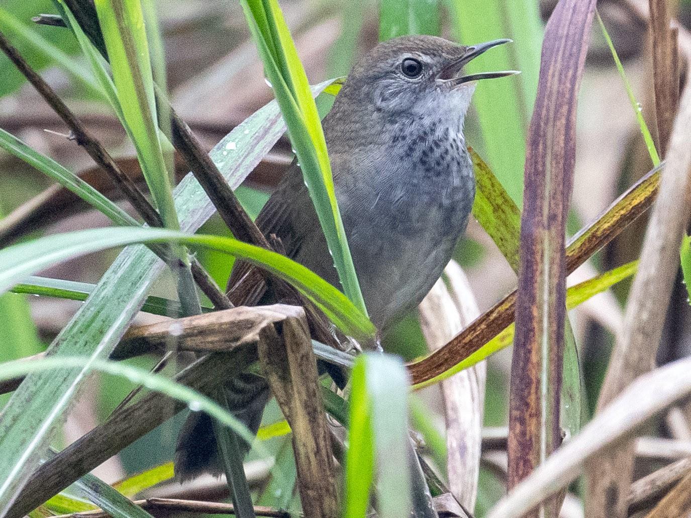 Spotted Bush Warbler - James Kennerley 🦄
