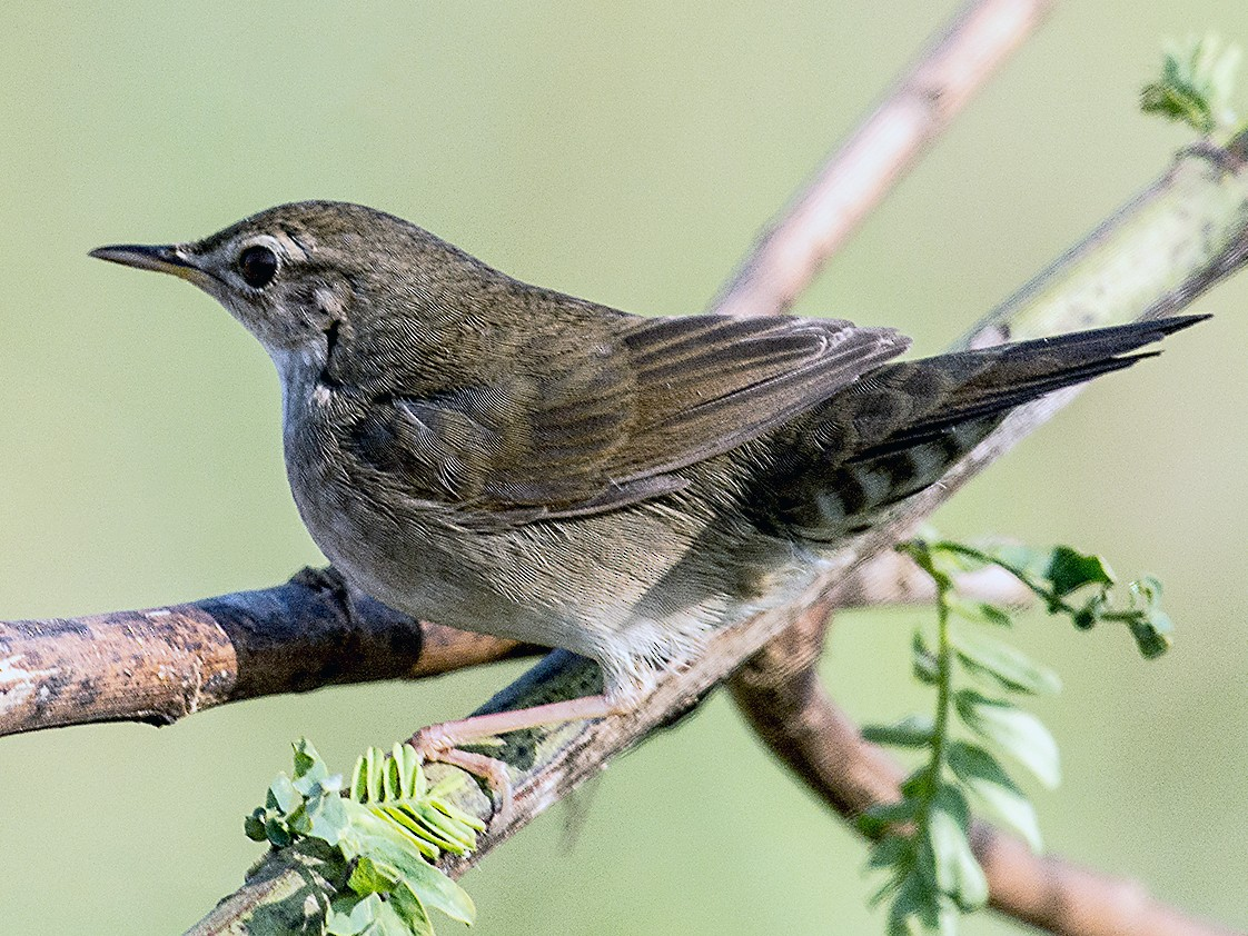 Spotted Bush Warbler - Biswanath Saha