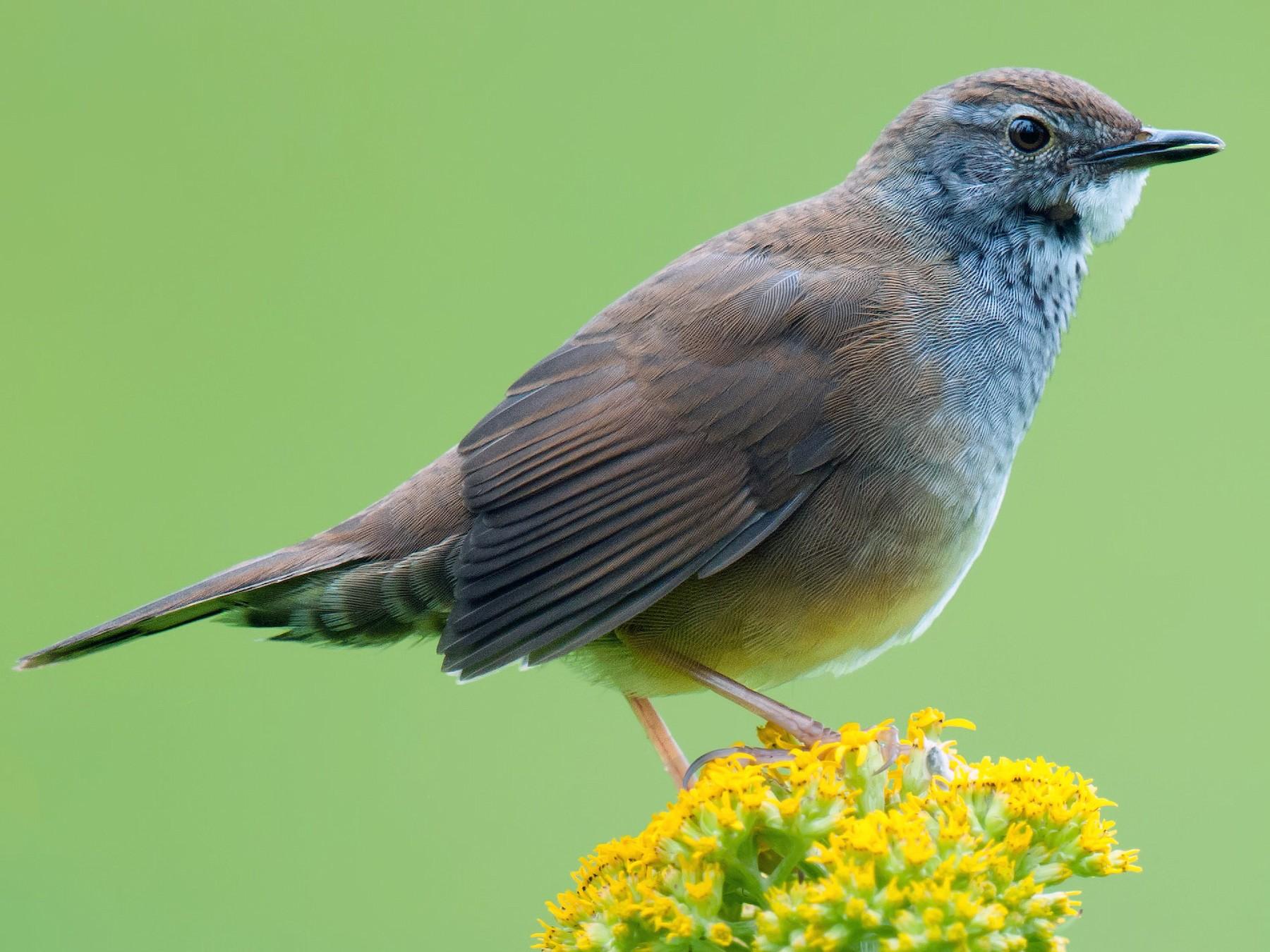 Spotted Bush Warbler - Craig Brelsford