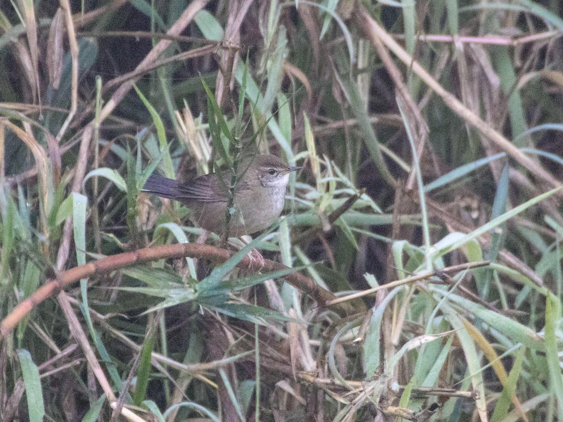 Spotted Bush Warbler - Thomas Job