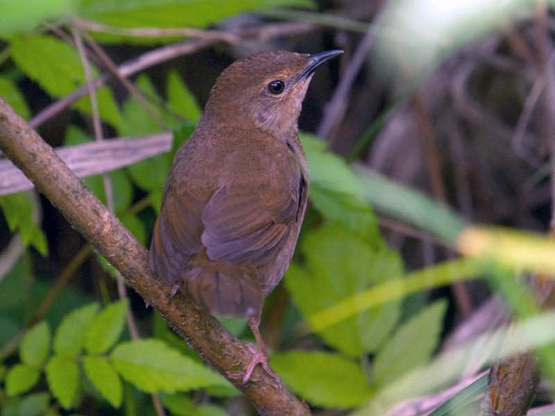 Sichuan Bush Warbler - Qin Huang