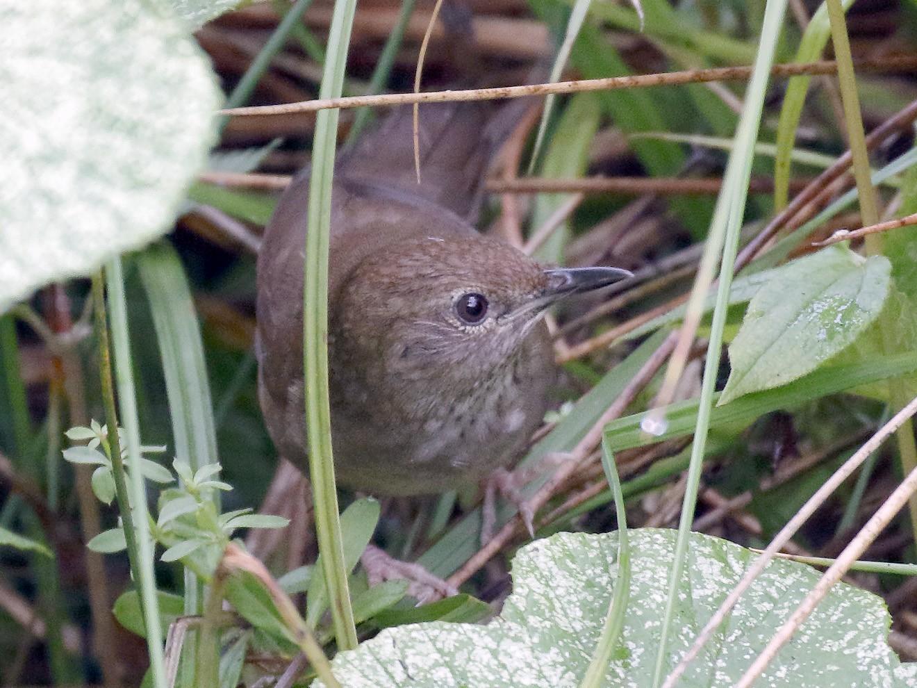 Sichuan Bush Warbler - Dave Curtis