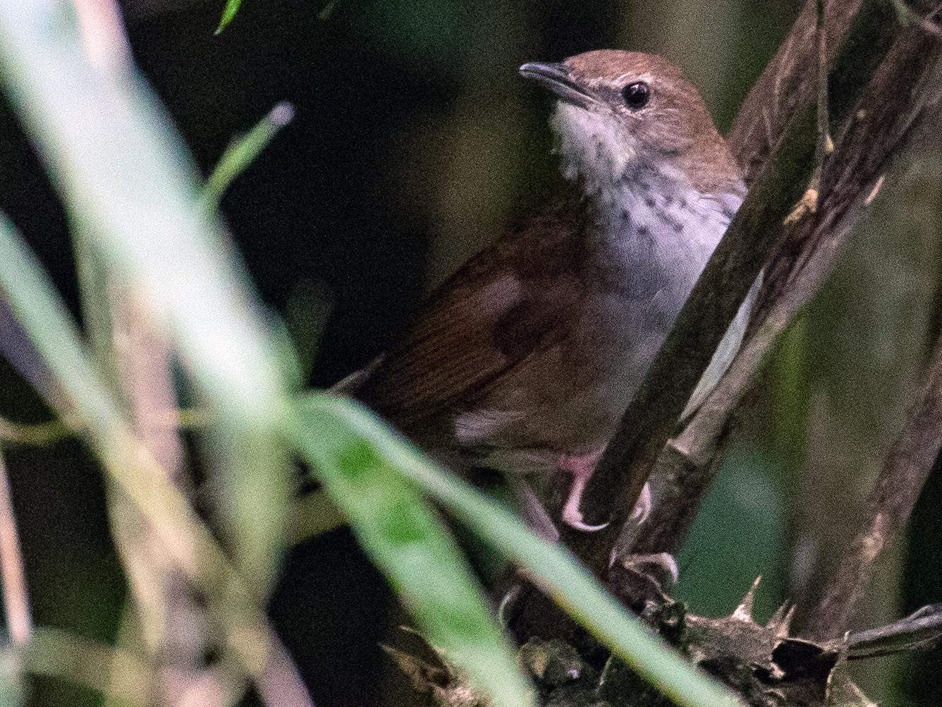 Sichuan Bush Warbler - James Kennerley 🦄