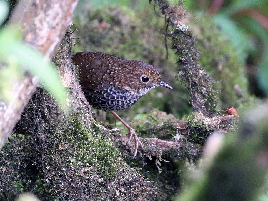 Chinese Cupwing - Charley Hesse TROPICAL BIRDING